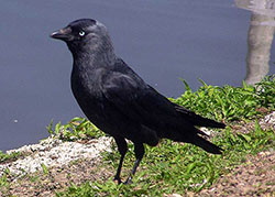 a jackdaw is famous for his cleverness